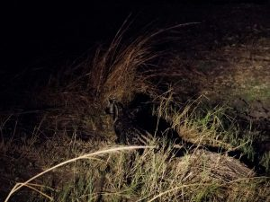 African civet hunting