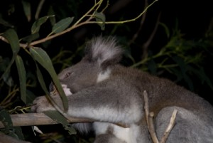 spotting koalas at night