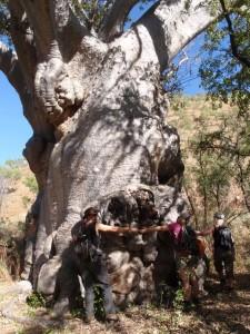 measuring baobabs