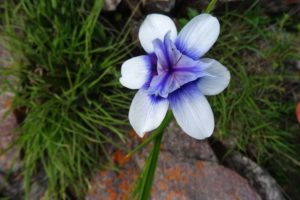 beautiful colours - moraea callista - iris