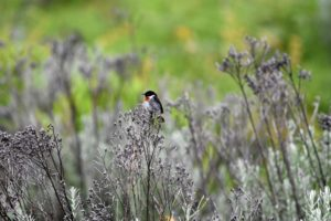 another first bird, this time a common stonechat