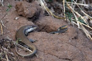 baby lizards!