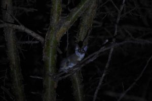lesser galago around camp