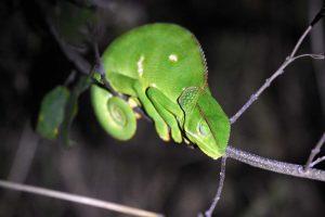 flat-necked chameleon