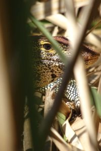 a female monitor lizzard sitting on a nest at Lake Babati