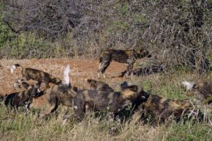 greeting time, when wild dogs wake up they greet each other before going out hunting
