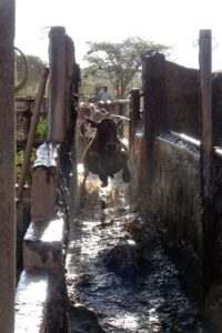 cattle dip, every 2 weeks all cattle must go through the dip to prevent tick-borne diseases