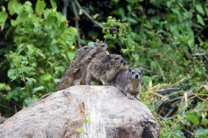 after rain or a cold night, these hyraxes huddle together for warmth, together they are called a colony of hyraxes