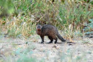 a rather scruffy-looking, damp banded mongoose