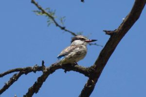 new bird for us - striped kingfisher