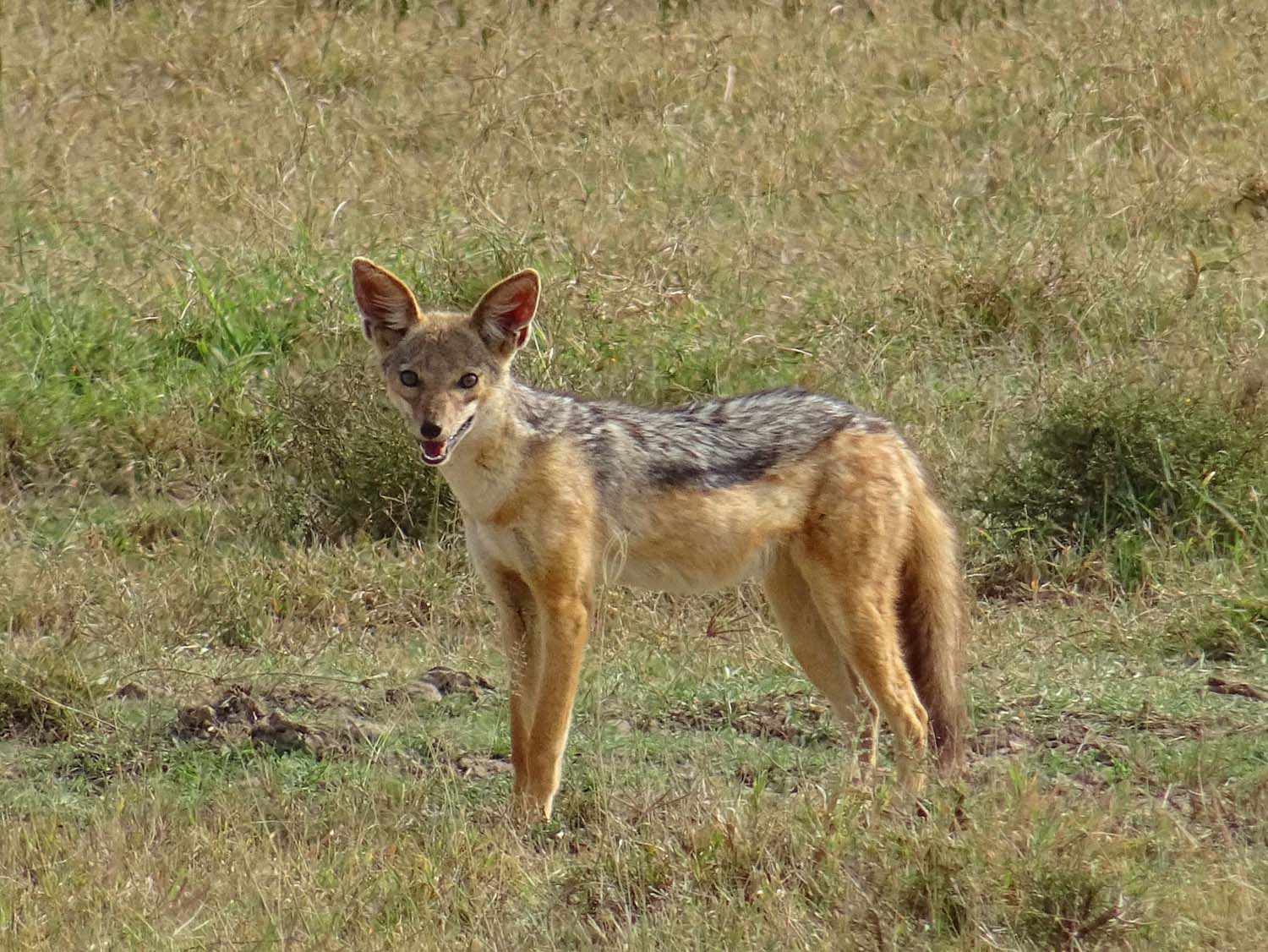 black-backed jackal in Lake Nakuru NP