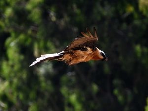 a lammergeier soars past - it is also known as the bearded vulture or the bone breaker as it drops bones from 50-150m onto rocks to break them so they can be eaten as most of their diet consists of bone marrow. It takes seven years of learning to master this skill. They also sometimes kill live prey in the same way.