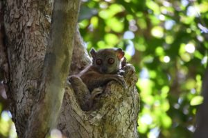 another sportive lemur, this time it is the ankarana sportive lemur