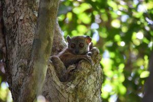 another sportive lemur, this time it is the ankarana sportive lemur