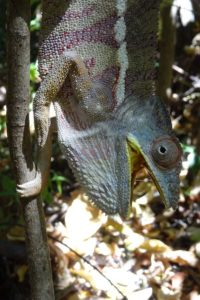 a not so happy panther chameleon (furcifer pardalis)