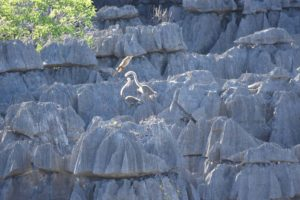 the crowned lemurs don't seem to have an issue with crossing the tsingy, look at the male jumping across