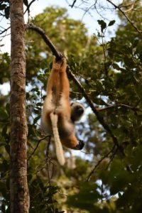 a diademed sifaka eating, they are very agile