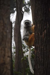 a gorgeous diademed sifaka mum with very cute baby