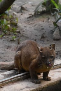 the powerful fossa, unfortunately we weren't lucky enough to see one in the wild...