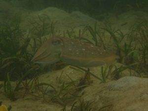 a broadclub cuttlefish