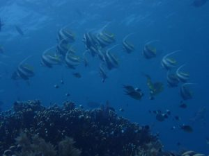 a school of longfin bannerfish