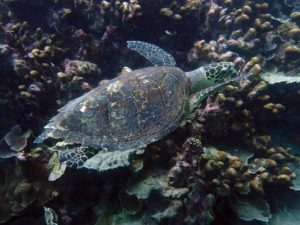 a very relaxed hawksbill sea turtle