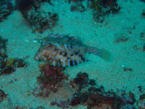 a thornback cowfish