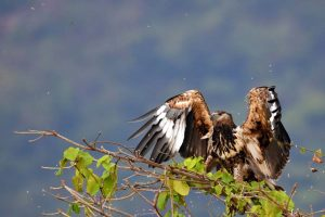 a stunning young fish eagle lands on top of a tree