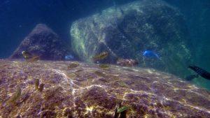 cichlids in Lake Malawi