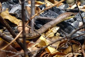 a very shy eastern sand snake (psammophis orientalis)