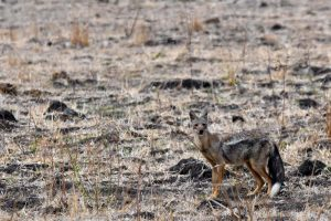 side-striped jackal, our first proper look at one