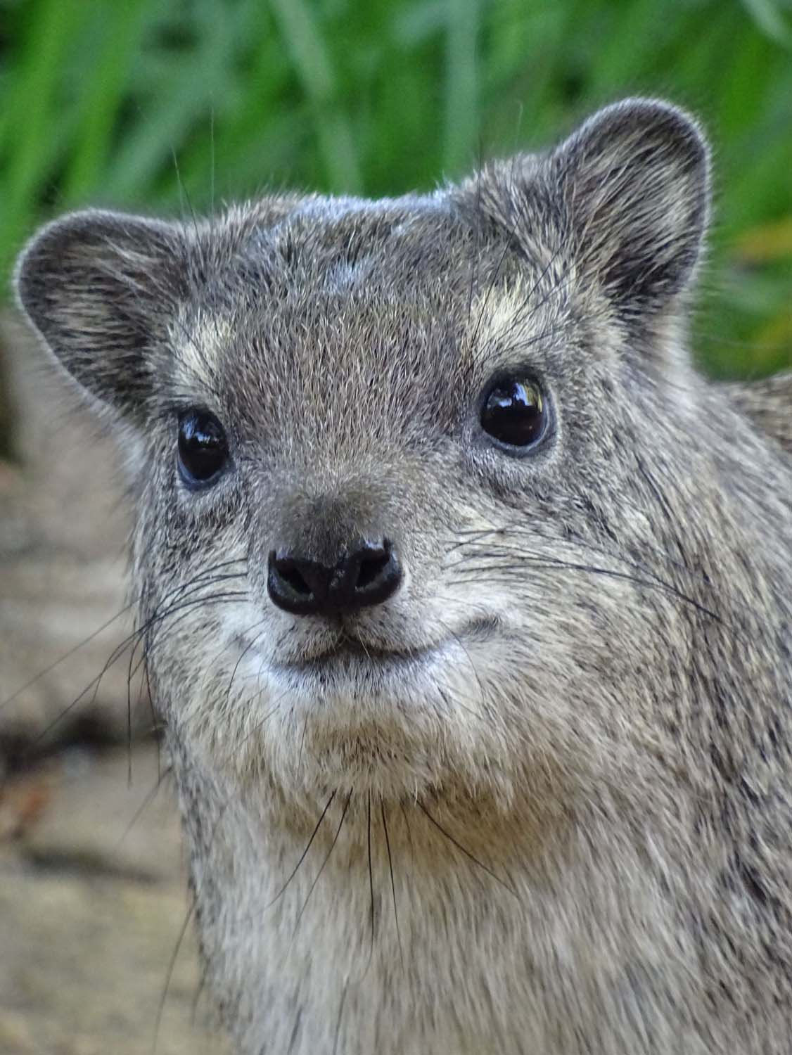 a very cute rock hyrax