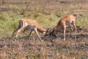 two male impalas testing their strength
