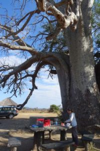 Jude preparing lunch underneath this magnificent baobab full of birds