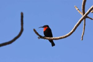 a male scarlet-chested sunbird in the baobab