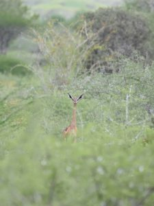 who is that peaking up through the bushes? it's a gerenuk, long time no see...
