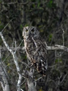a first for us, a beautiful spotted eagle-owl in the early morning