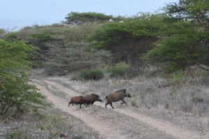 a family of bush pigs on the run, they are nocturnal animals so you don't see them very often during the day. We were very lucky to come across them.