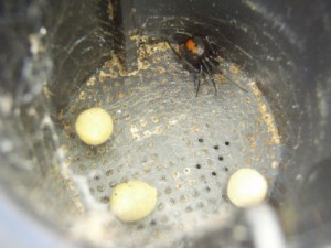 we find some red back spider with a few egss