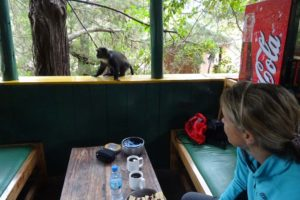 a cheeky Sykes monkey tries to steal our lunch