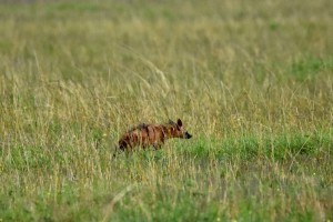 an aardwolf, despite it's verocious sounding name it is harmless and eats only termites