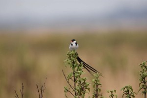 a male pin-tailed whydah. It's not easy to fly with a tail that long if you are that small!