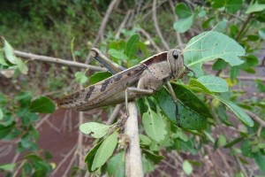 a common garden locust was sitting on a branch in the road