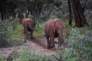 Kamok appears from out of the forest as one of the last elephants that day (she is the first in the photo)