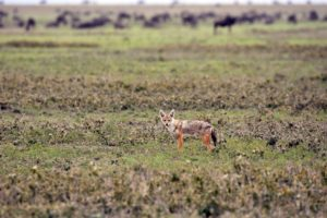 we spot a a golden jackal for the first time