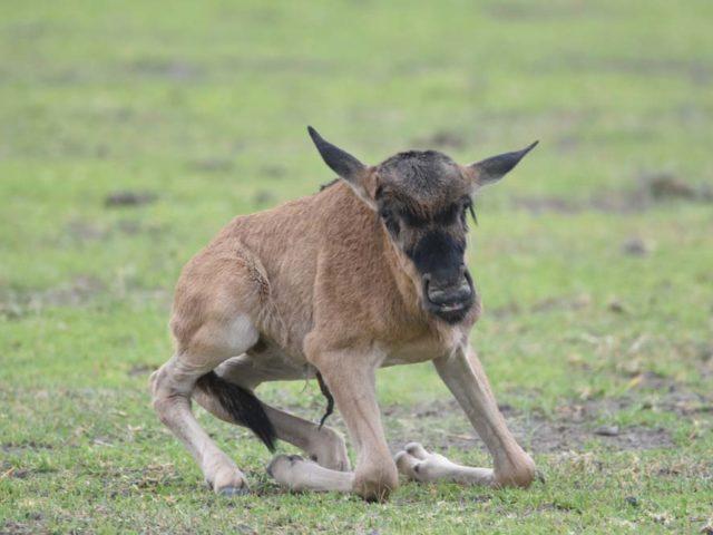 Ndutu Plains calving