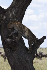 a leopard ascends a tree where his kill is located at the edge of the Ndutu Plains, wildebeest worryingly keeping a watchful eye