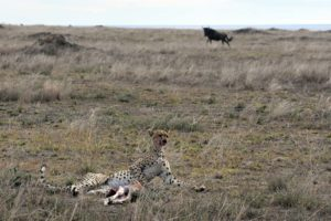 this cheetah reclines after eating his belly full, the wildebeest in the background is still looking for her calf...