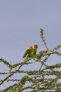 a cute couple of fischer's lovebirds