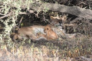 the circle of life - a lioness feeds her 2 young cubs